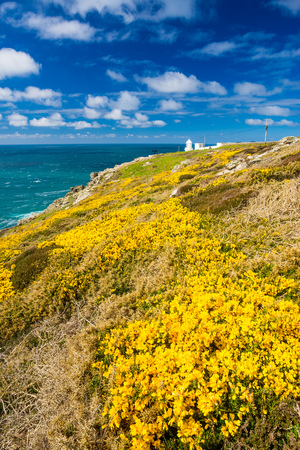 headland: Flowering Gorse on the headland know as Pendeen Watch in the background is Pendeen Lighthouse Cornwall England UK Europe