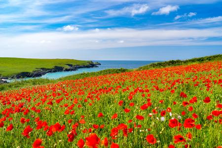 Field of Poppies and wild flowers above Porth Joke beach near Newquay Cornwall England UK Europe Stock Photo