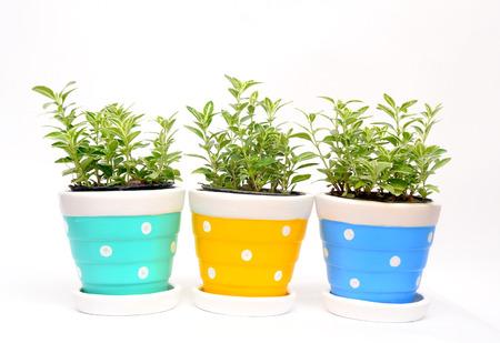 Ornamental plants in Flowerpot Stock Photo