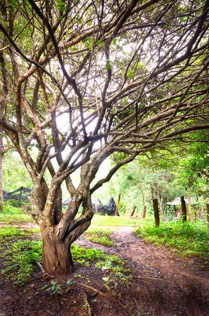large tree: Tree in farm Stock Photo
