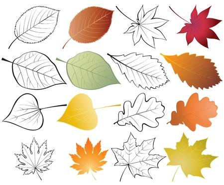 foglie di quercia: Set di foglie. Illustrazioni a colori e delineare
