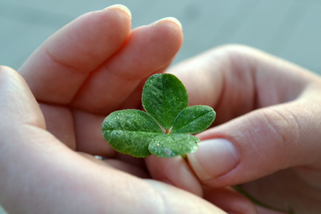 Fourleaf clover in the hands of a girl torn luck photo