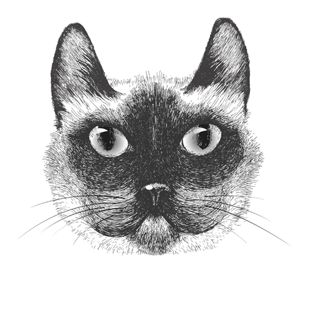 siamese: hand drawn portrait of siamese cat on white background