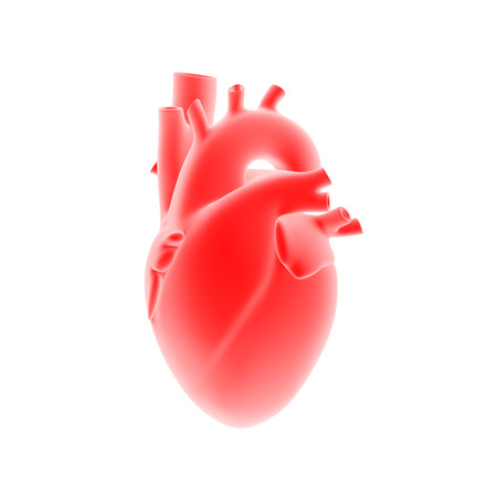 Anatomical model of human heart isolated on white background. 3D illustration.