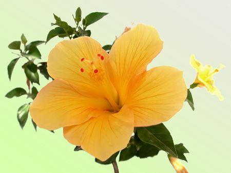 blume: Yellow hibiscus Stock Photo