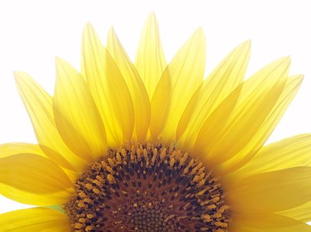 Half zonnebloem gevangen tegen natuurlijke licht terug