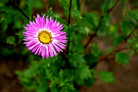 An autumn flower aster dumosus photo