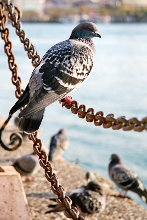 catena: Pigeon sitting on a chain Stock Photo