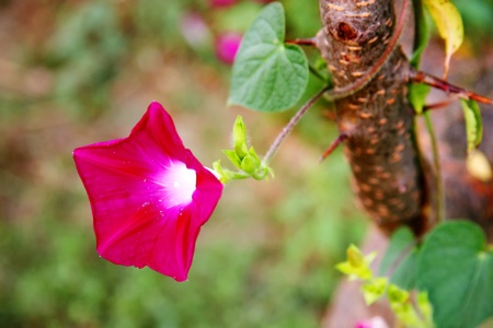convolvulaceae: Ivy branch with morning glory (convolvulaceae)