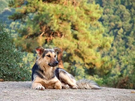 Shepherd dog in the nature photo
