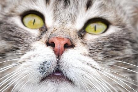 animalitos tiernos: Retrato de gato atigrado de ojos verdes Foto de archivo