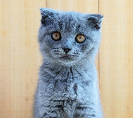 carefully: Kitten Scottish breed with cropped ears. Watch carefully. Stock Photo