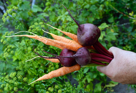 Hand holds a armful of freshly picked carrots and beets on the background of nature