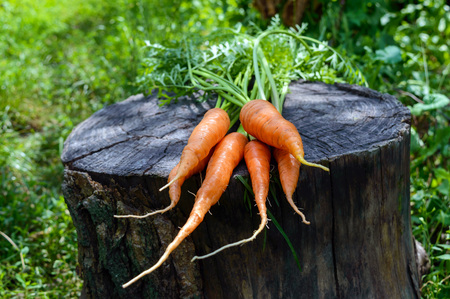 carrot tree: Freshly picked carrots close up on an old tree stump.
