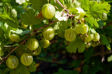 microelements: Berries of gooseberry on the branches