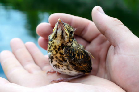 nestling: Little nestling swallows river (Swift), a man holds in his hands. Stock Photo