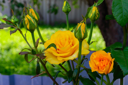 unopened: Bright yellow roses and unopened buds on the background of nature
