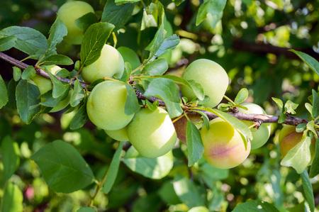 """Unreife Früchte Pflaumen (Sorte: """"Reneklode"""") auf den Zweigen Standard-Bild"""
