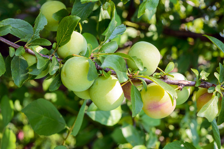 Unripe fruits plums (variety: