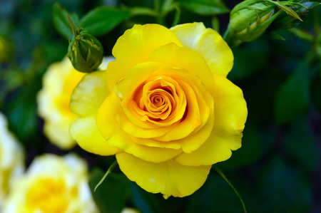 unopened: Bright yellow roses on the background of nature