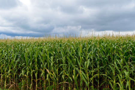endlessly: Thick endlessly green field of high corn. Gray storm clouds before the rain.