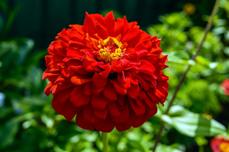 Large flower zinnias red color on a background of nature. Close-up.
