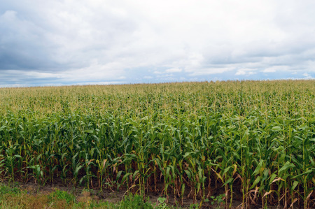 endless: Thick endless green field of high corn. Stock Photo