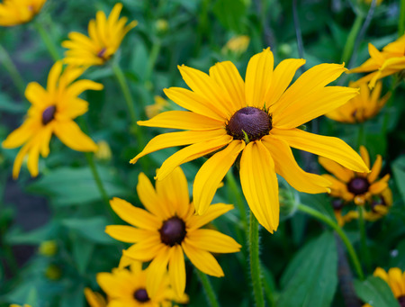 Yellow summer flowers - rudbeckia against a background of nature. Close-up.