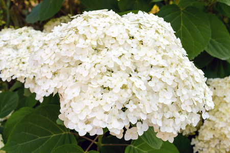 Shrub with white lush flowers - hydrangea. To park, garden.
