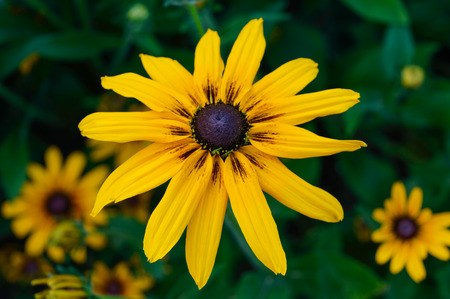 bright eyed: Yellow summer flowers - rudbeckia against a background of nature. Close-up.
