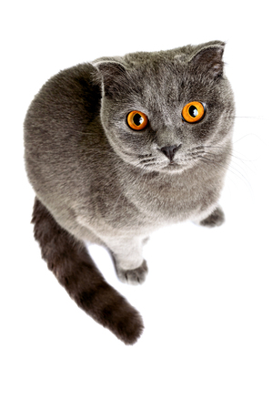 razas de personas: Gray cat breed Scottish Fold looking carefully from the bottom up. Isolation object on a white background. Foto de archivo