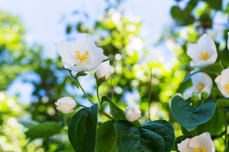 jessamine: Jasmine - a bush with white flowers. Flower on a branch close-up against the sky. Archivio Fotografico