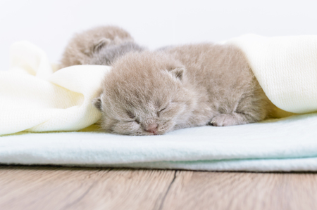 Little beautiful Scottish kitten sleeping on a light soft blanket. Stock Photo