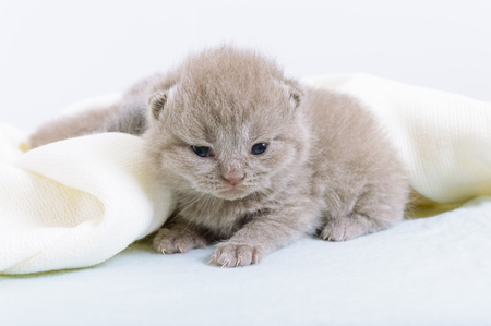 Little beautiful Scottish kitten on a light soft blanket. Stock Photo