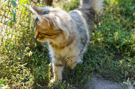 Beautiful kitten on the background of nature, carefully looking. Domestic cat hunts.