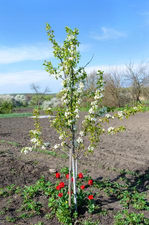 Young flowering tree in the garden in spring. Cherry plum tree Standard-Bild - 122936099