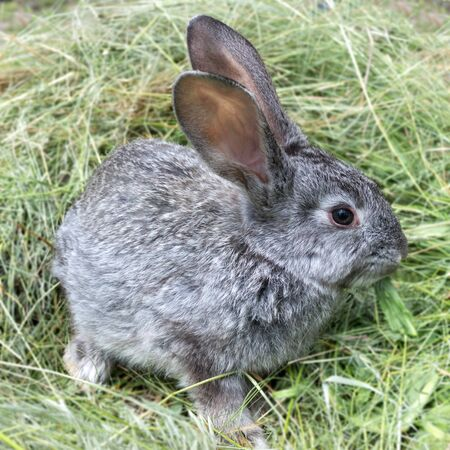 Gray rabbit sitting on a pile of mowed grass. Pets.