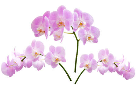 Beautiful blooming branches of pink phalaenopsis orchids isolated on a white background.