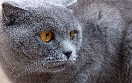 Beautiful gray cat looking to the side. Scottish fold cat with orange eyes, close up.