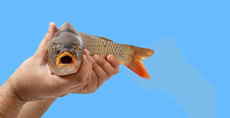 Male hands are holding raw fish isolated on blue background with copy space. A close-up fish head expresses surprise with an open mouth.