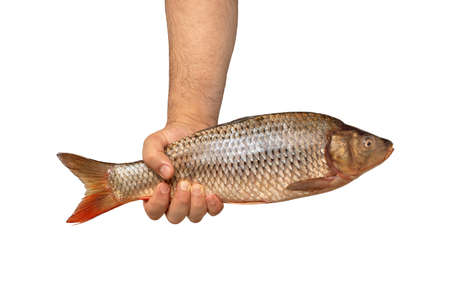 Strong male hand holds big fresh raw fish on white background. Capture concept, on hook. Stock Photo