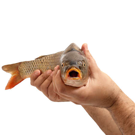 Male hands are holding raw fish isolated on white background. A close-up fish head expresses surprise with an open mouth. Stock Photo