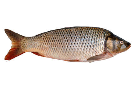 Freshly caught raw river carp fish isolated on white background. Stock Photo