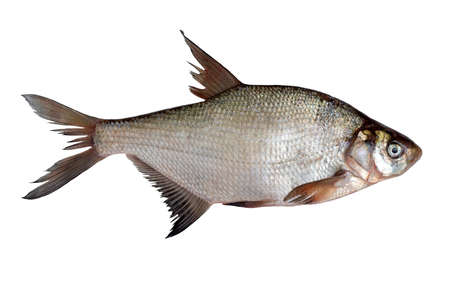 Freshly caught raw river bream fish isolated on white background.