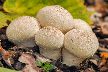 median: Puffball mushrooms in the forest mushrooms median strip europe