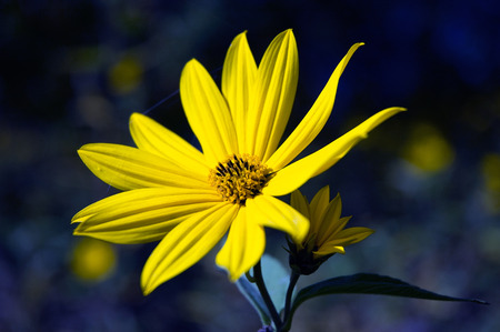 argyranthemum: Beautiful yellow flower