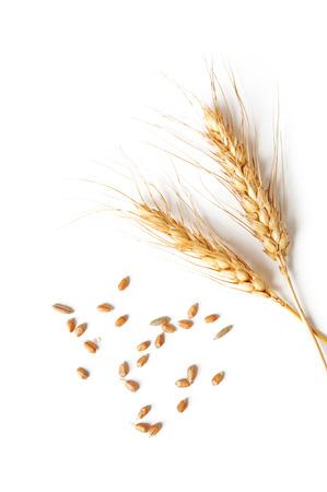 cosecha de trigo: espiguillas y granos de trigo sobre un fondo blanco