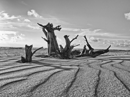 blackly: Dry Tree On The Beach Of The Baltic Sea. blackly white photo