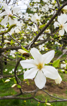 washed out: Beautiful white magnolia in spring with soft focus