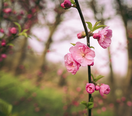 fading: Beautiful sakura with soft focus. Coloured applied effect of toning. Stock Photo